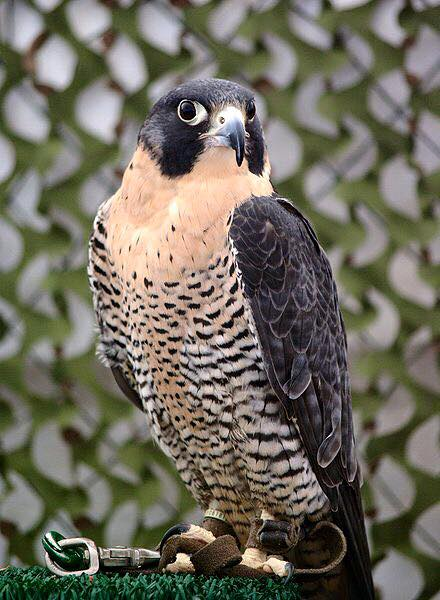 National Bird Of the UAE Falcon
